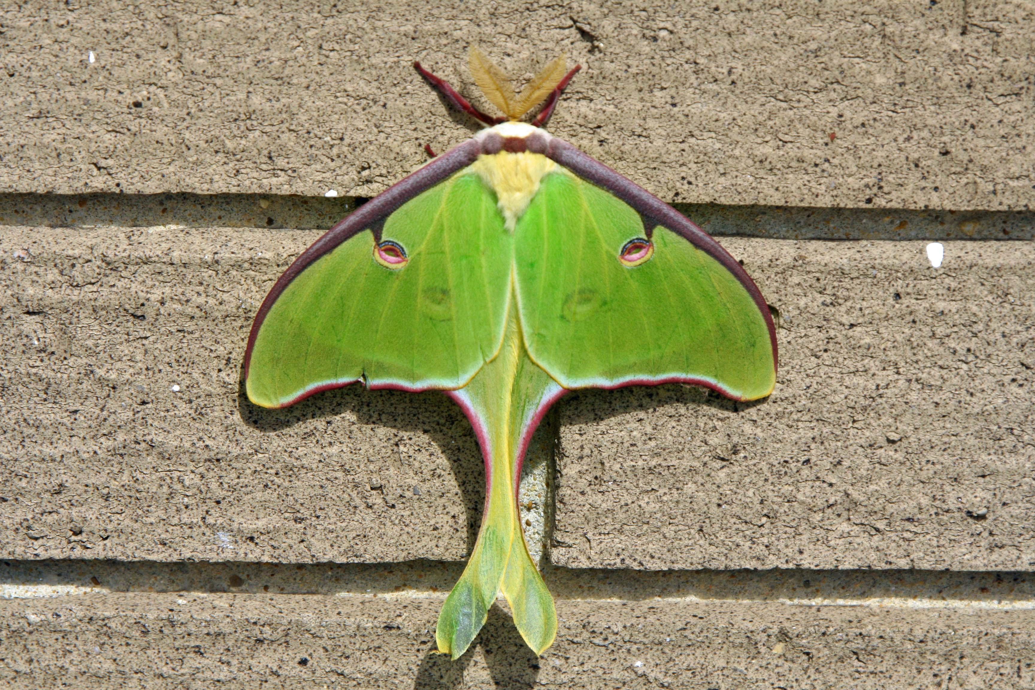 Luna Moth on Natchez Trace.