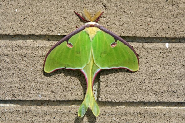 Luna Moth on Natchez Trace.