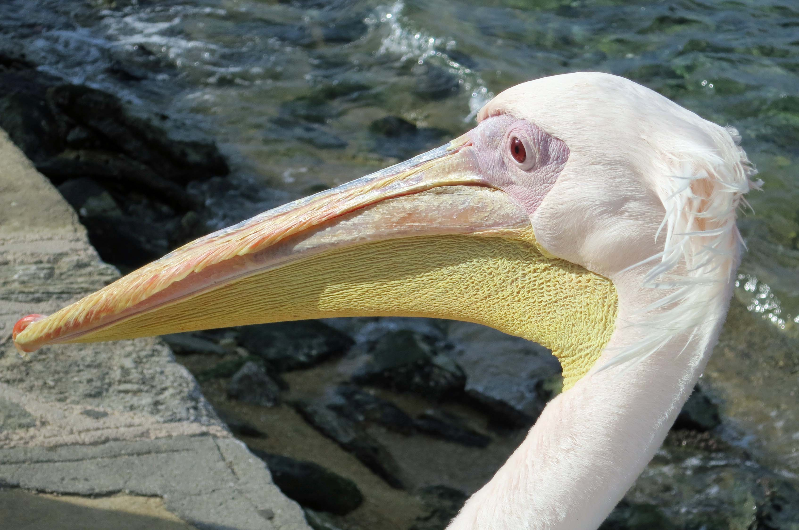 Petra the Pelican of Mykonos. Photo by Curtis Mekemson.