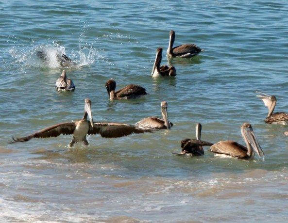 Brown Pelican appears to walk on water in Puerto Vallarta.