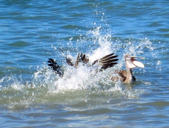 Pelican drains water from bill in Puerto Vallarta. Photo by Curtis Mekemson.