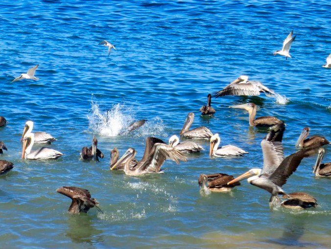 Brown Pelicans demonstrate different aspects of fishing in Banderas Bay, Puerto Vallarta. Photo by Curtis Mekemson.