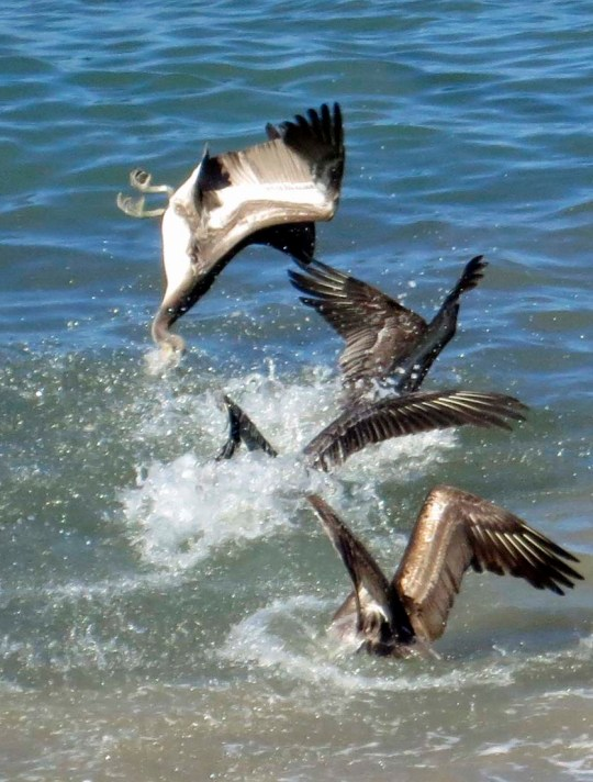 Pelican hist water upside down in Puerto Vallarta. Photo by Curtis Mekemson.
