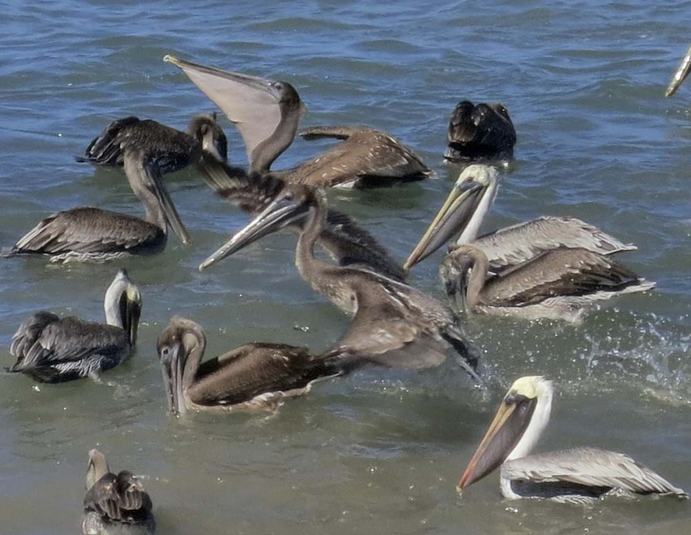 Pelican shows throat pouch in Puerto Vallarta. Photo by Curtis Mekemson.