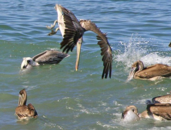 Brown Pelican dives toward the water of Banderas Bay in Puerto Vallarta.
