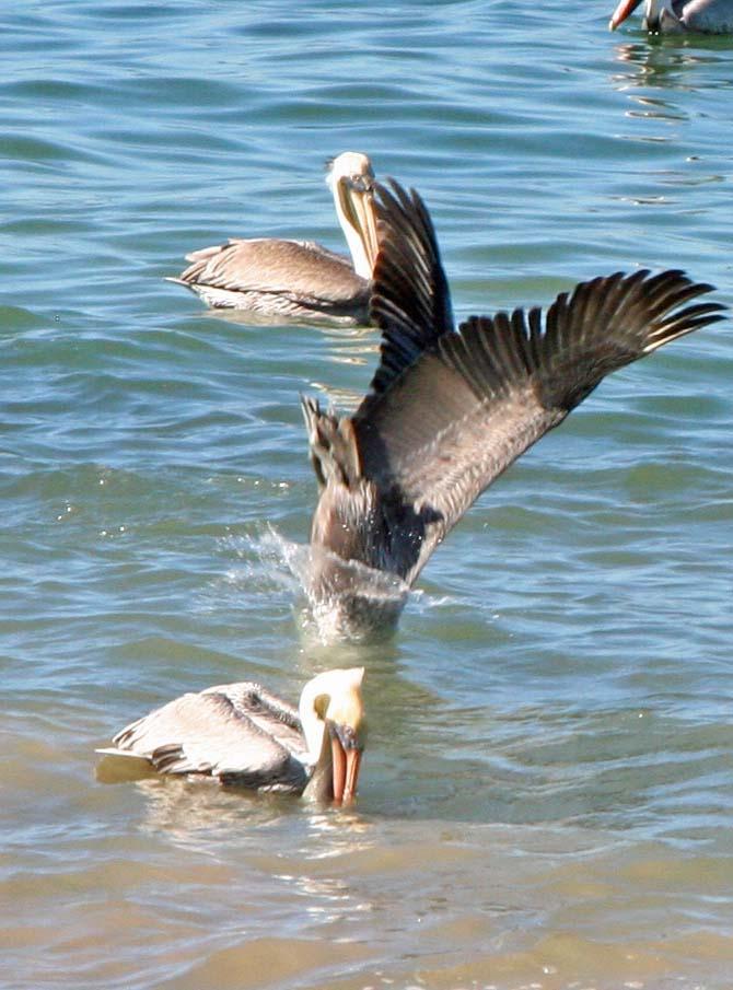 Pelican diving for fish in Puerto Vallarta, Mexico.