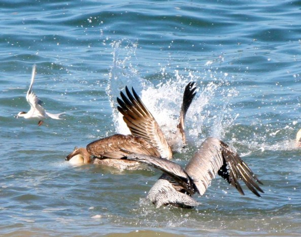 Pelican feeding frenzy in Puerto Vallarta.