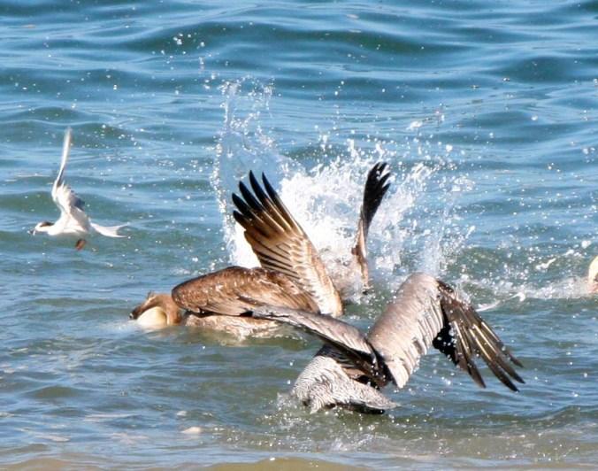 Pelican feeding frenzy in Puerto Vallarta.