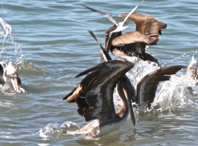 Pelicans feeding in Banderas Bay, Puerto Vallarta Mexico.