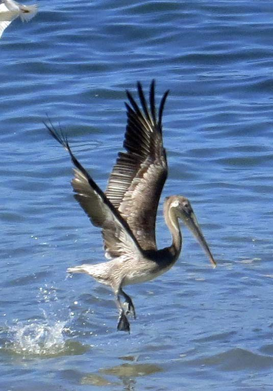 Brown Pelican takes flight off of Banderas Bay in Puerto Vallarta. Photo by Curtis Mekemson.
