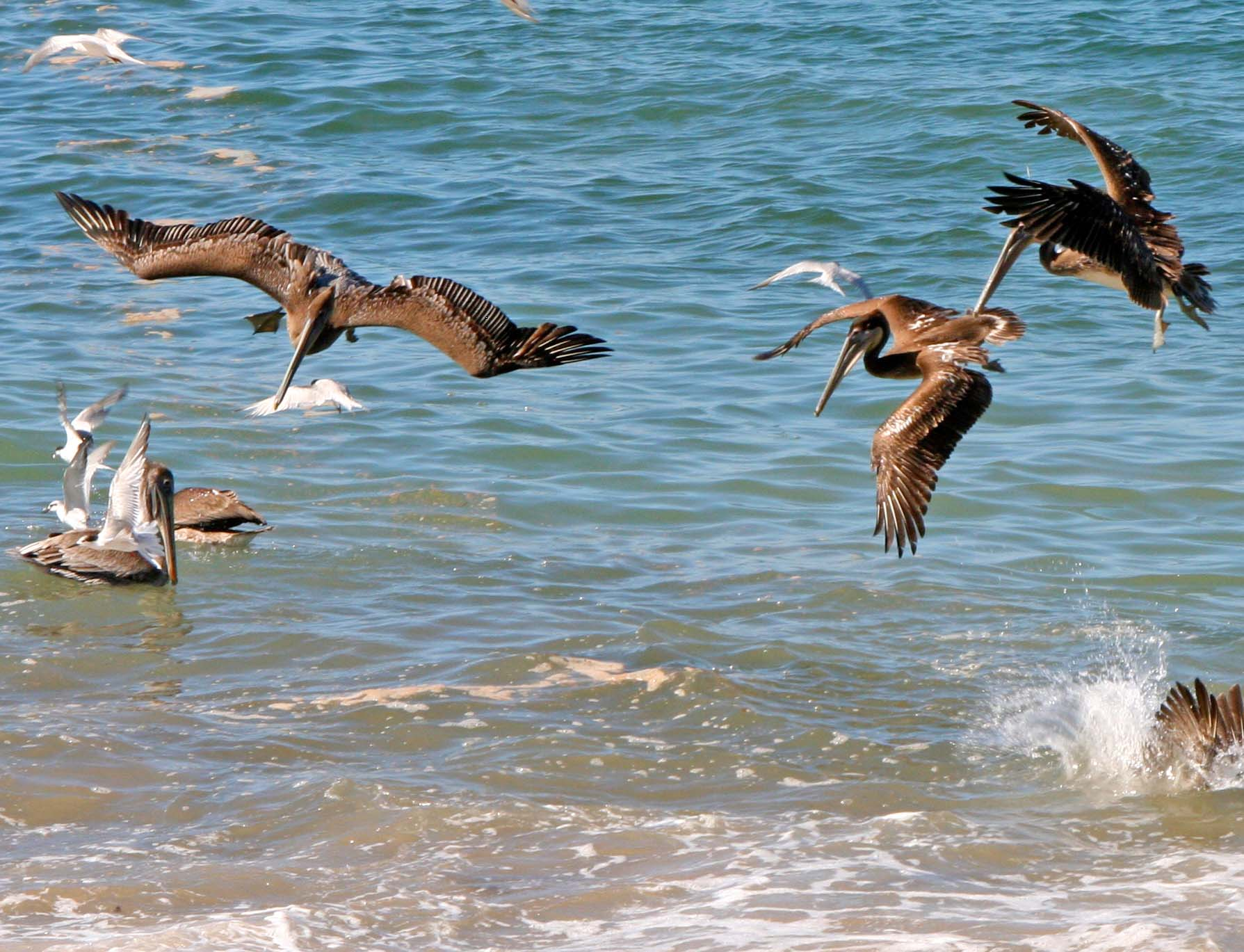Pelicans prepare to dive in Puerto Vallarta, Mexico.