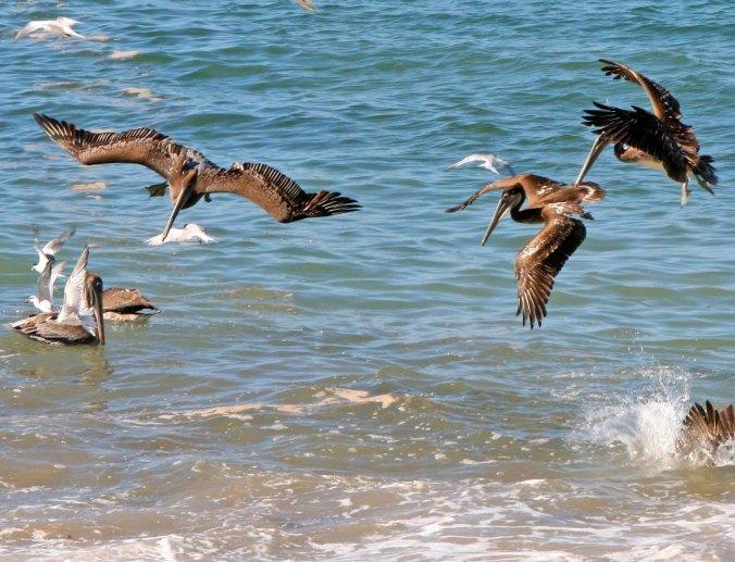 Pelicans prepare to dive in Puerto Vallarta, Mexico.