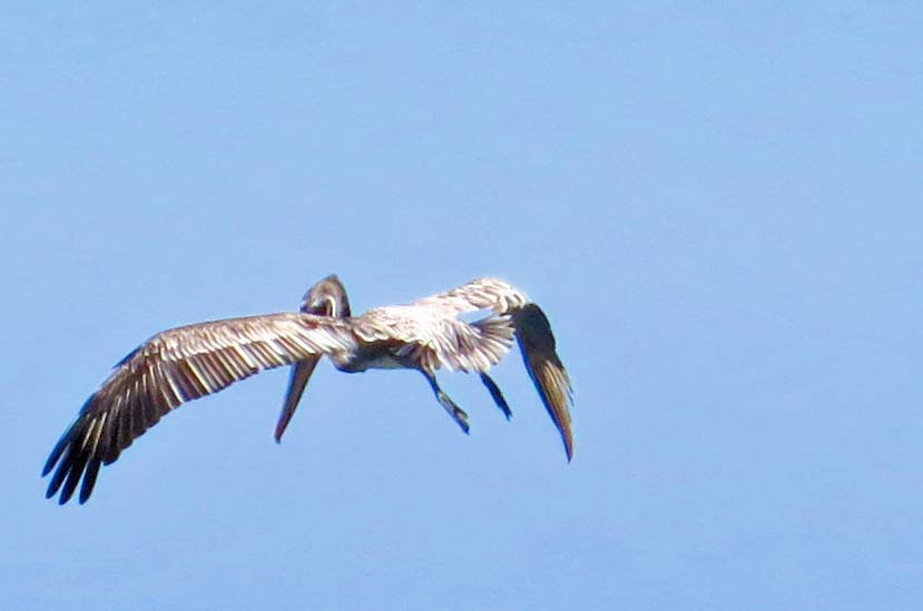 Brown Pelican in Puerto Vallarta hovers above the water in search of fish. Photo by Curtis Mekemson.