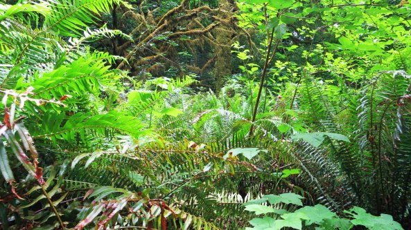 Fern growing in Redwoods National Park. Photo by Curtis Mekemson.