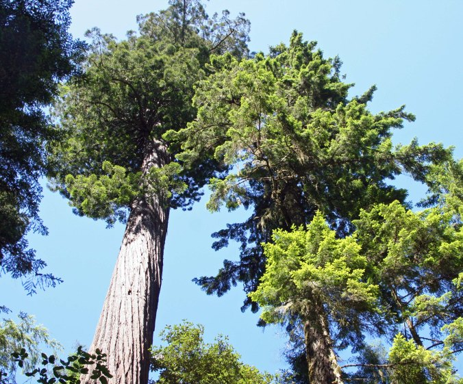 Tops of redwoods at Redwoods National Park. Photo by Curtis Mekemson.