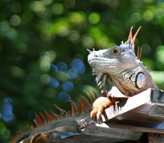Iguana on roof in Puerto Vallarta. Photo by Curtis Mekemson.