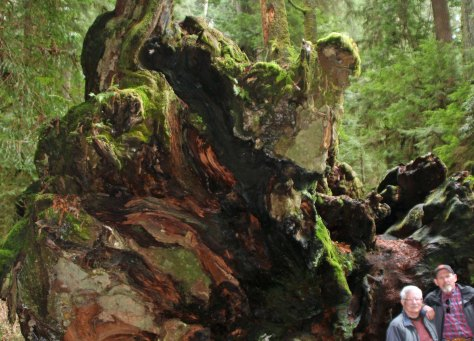 Downed tree root in Redwood National Park.