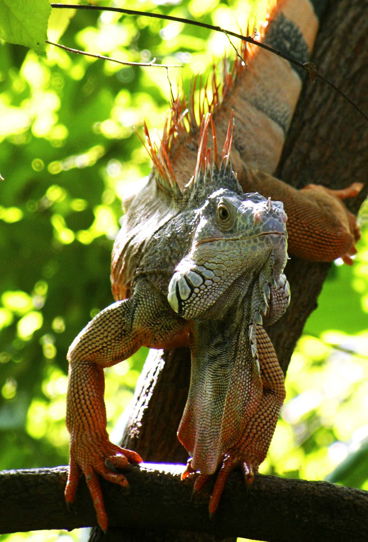 Oh My What A Big Dewlap You Have The Iguanas Of Puerto