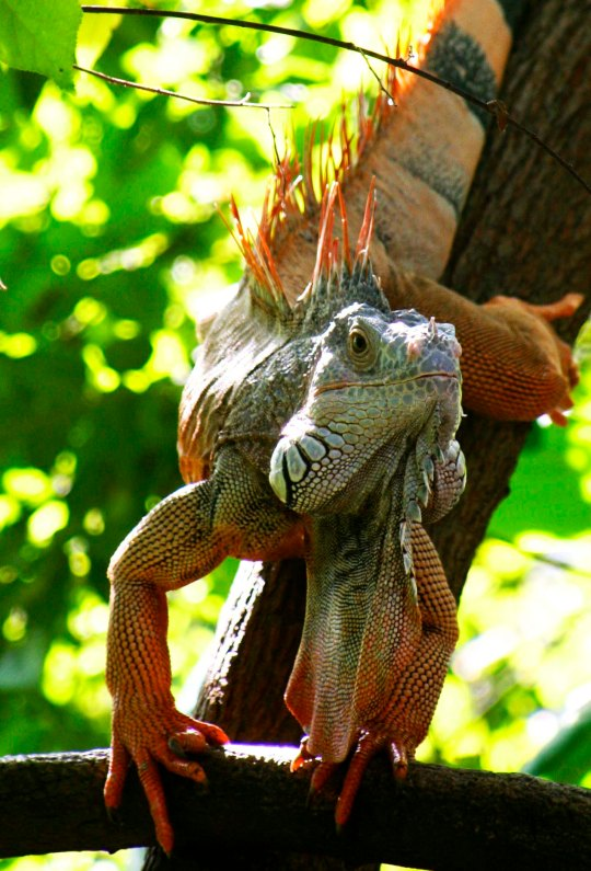 Large dewlap on Puerto Vallarta iguana. Photo by Curtis Mekemson.