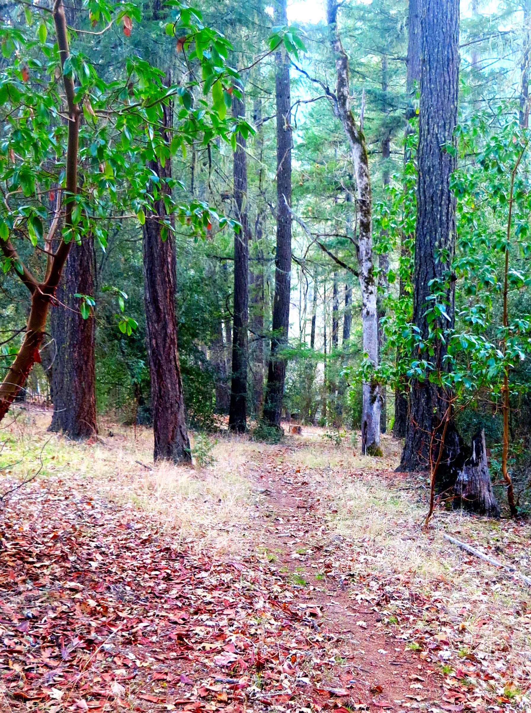 Applegate Valley trail through ponderosa Pines and Douglas Fir. Photo by Curtis Mekemson.