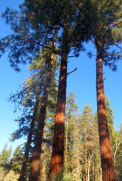 Ponderosa Pines in Applegate Valley, Oregon. Photo by Curtis Mekemson.