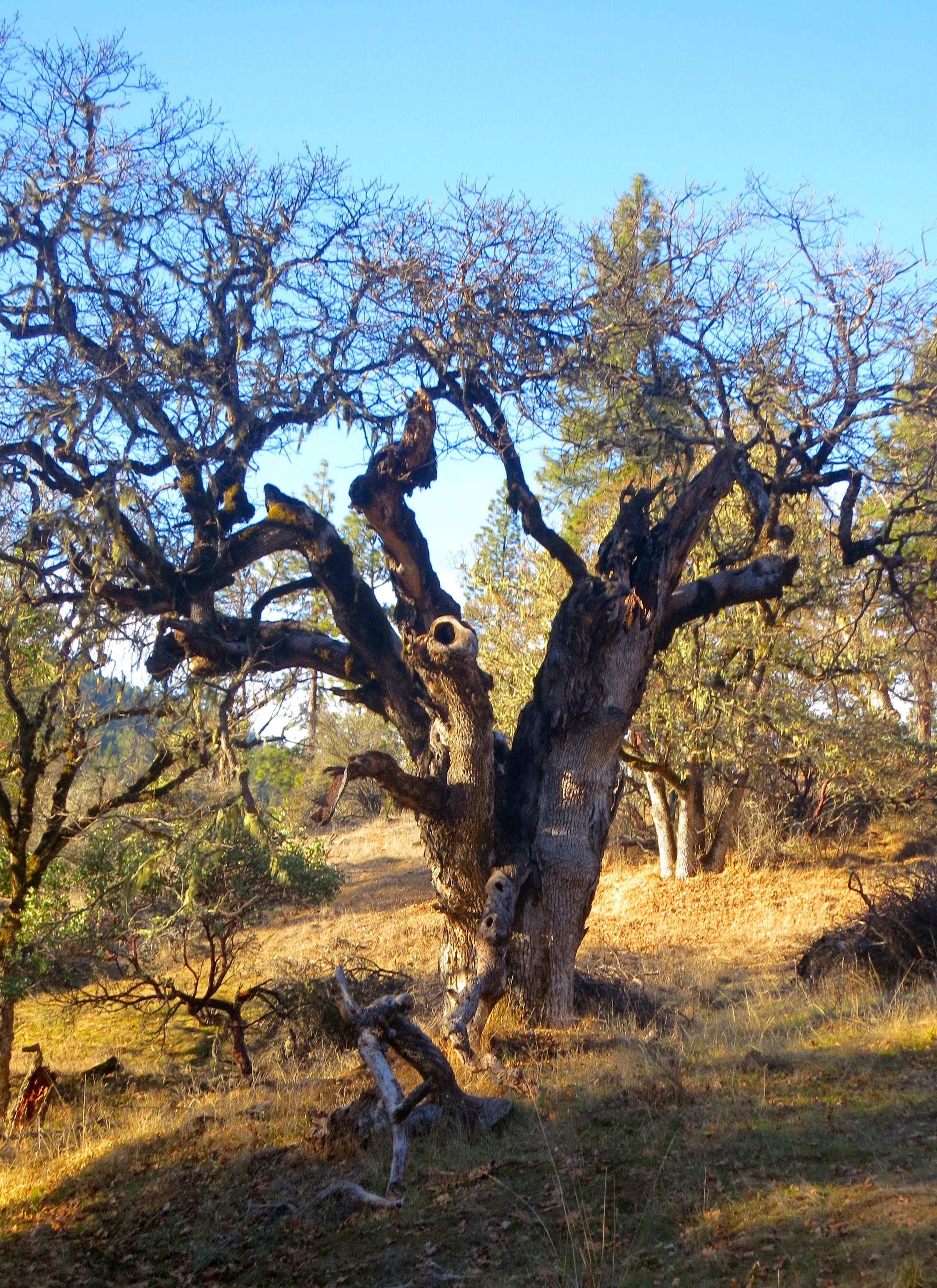 Hobbit Tree in Applegate Valley, Oregon. Photo by Curtis Mekemson.