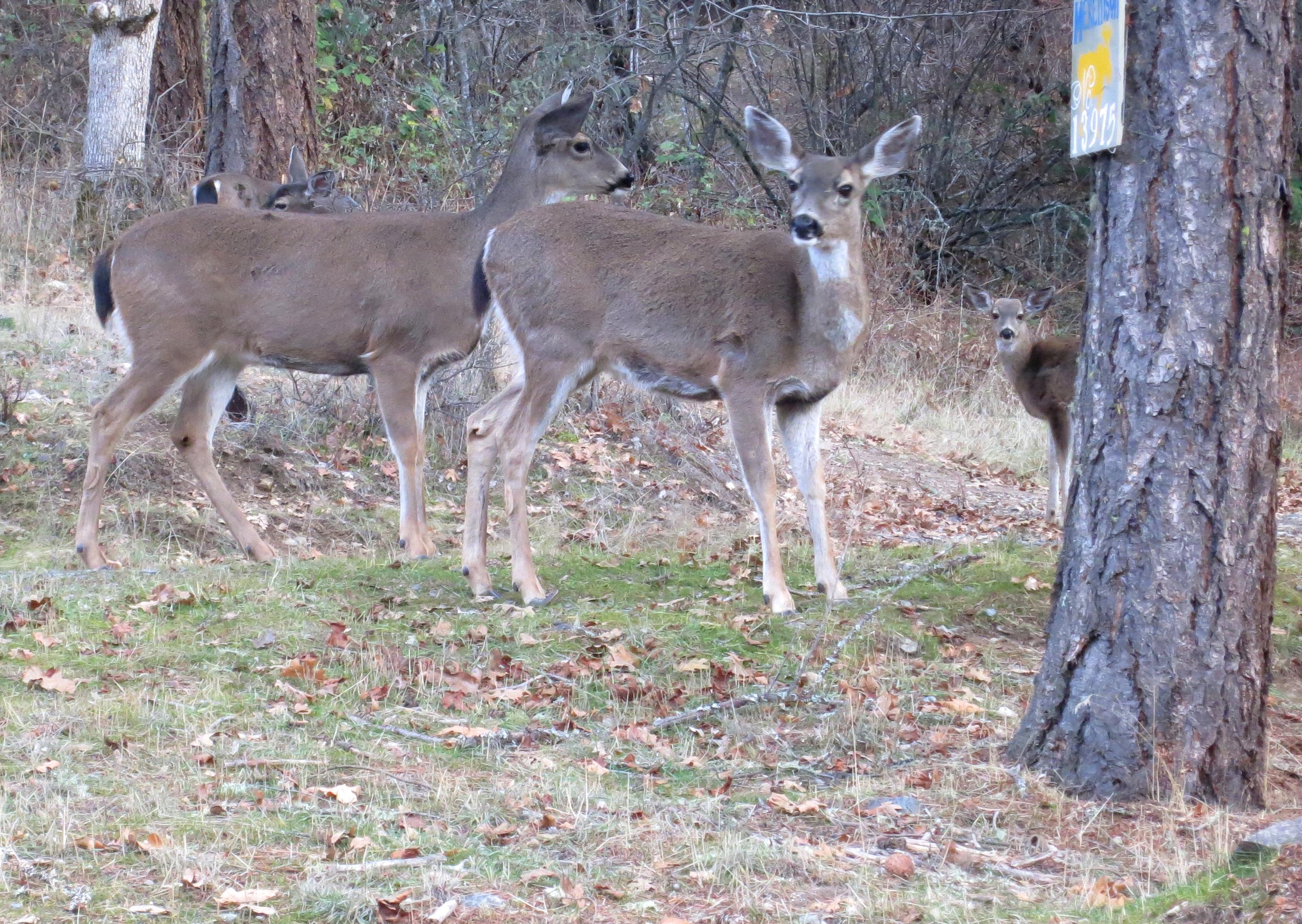 Blacktail deer herd in Applegate Valley, Oregon. Photo by Curtis Mekemson.