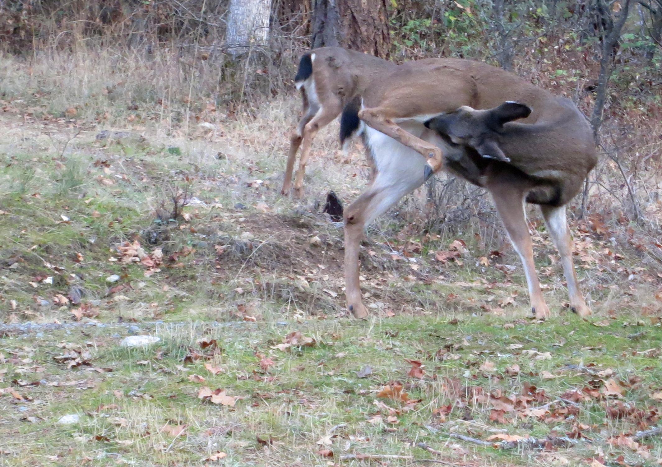 Blacktail deer scratches belly in Applegate Valley, Oregon. Photo by Curtis Mekemson.