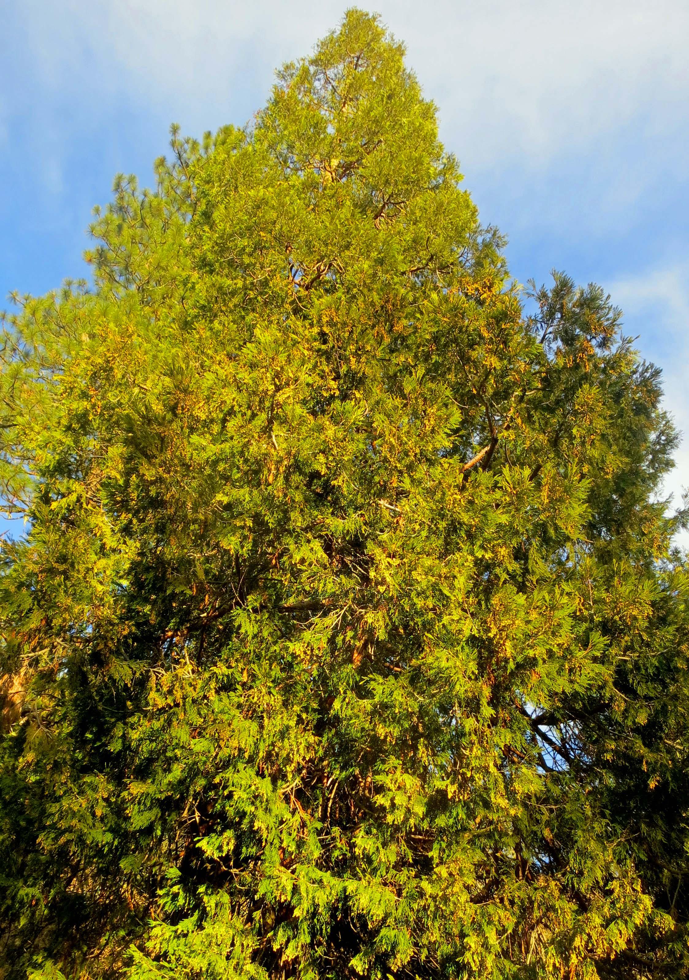 Oregon Red Cedar. Photo by Curtis Mekemson.