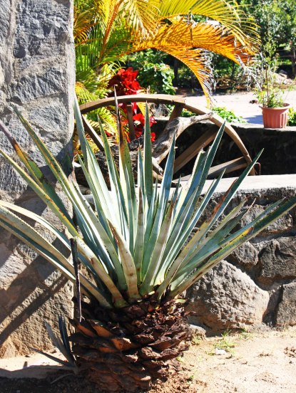 The agave plant, shown here, is the source of tequila. (Photo by Peggy Mekemson.)