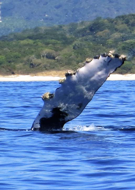 Dorsal fin of humpback whale taken off the coast of Puerto Vallarta. Photo by Curtis Mekemson.