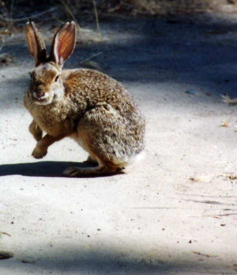 Brush rabbit on American River Parkway.