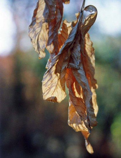 Dead leaves form a California Buckeye on the American River Parkway in Sacramento, California. Photo by Curtis Mekemson.