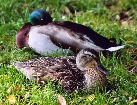 Mallard ducks on the American River Parkway in Sacramento, California.