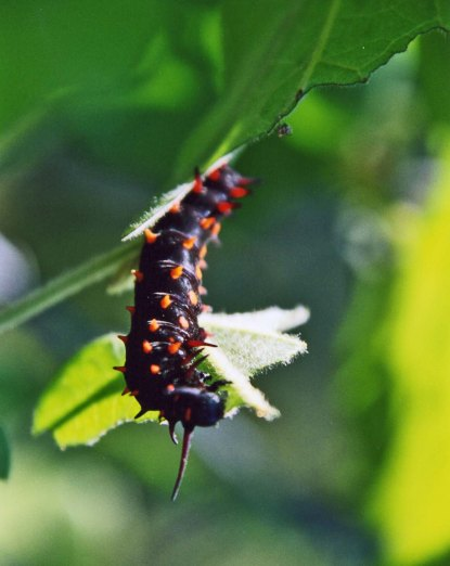 Pipevine caterpillar dining on Dutchman Pipevine Plant on the American River Parkway.