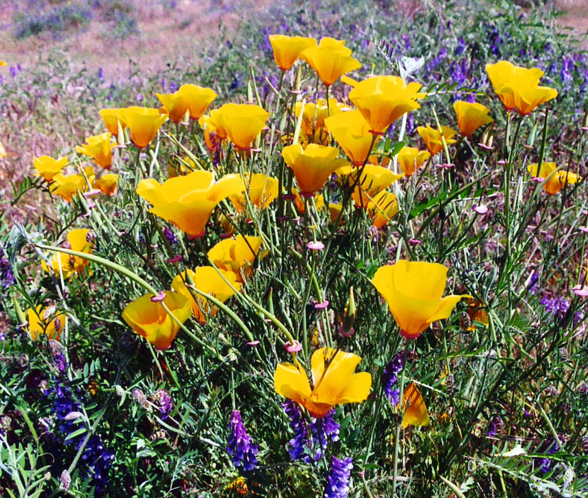 California Poppies and Winter Vetch growing together on the American River Parkway.
