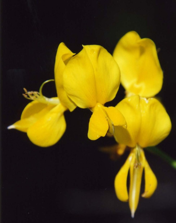 Scotch Broom found on the American River Parkway. Photo by Curtis Mekemson.