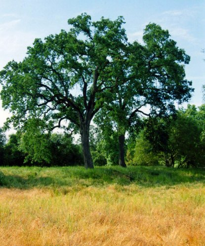 Valley oaks on the American River Parkway in Sacramento.