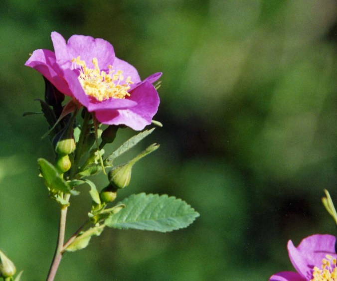 I conclude this post with a wild rose.