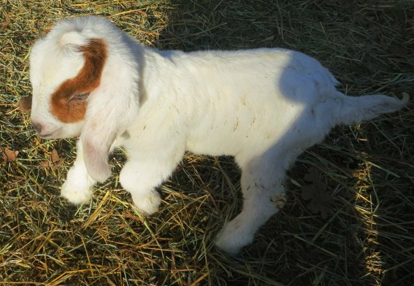 Baby goat photo by Curtis Mekemson.