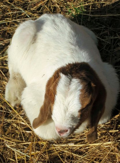 Baby goat sleeping. Photo by Curtis Mekemson.