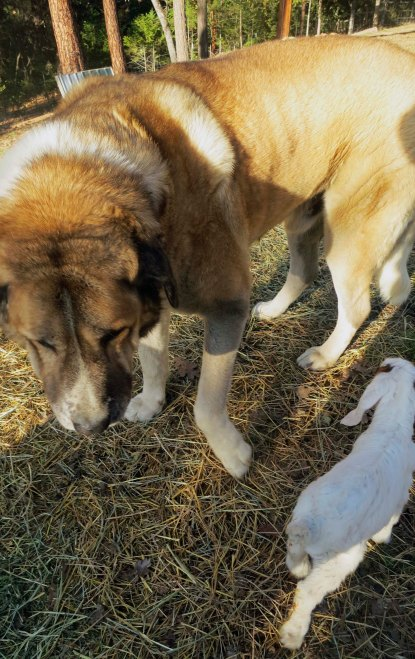 Anatolian Shepherd dog and baby goat.