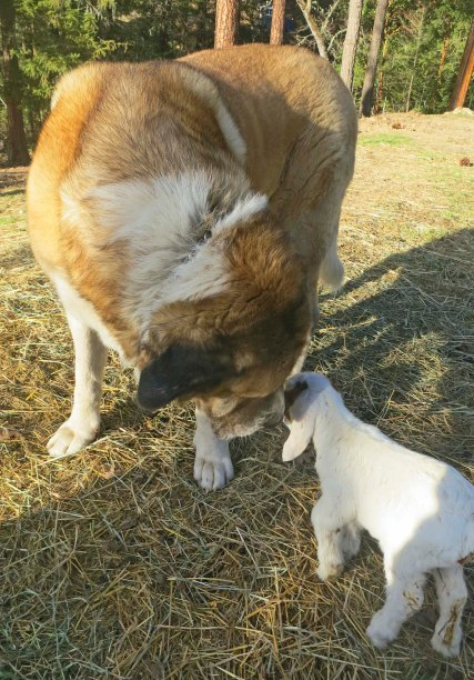 Anatolian shepherd dog and baby goat. Photo by Curtis Mekemson.