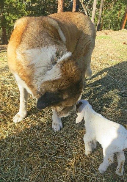 Anatolian shepherd dog and baby goat. Photo by Curtis Mekemson.