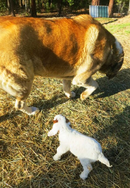 Standoff between 150 pound Anatolian Shepherd and baby goat. Photo by Curtis Mekemson.