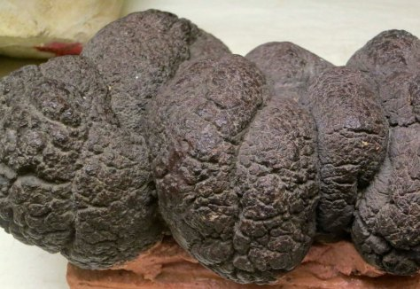 Dinosaur poop on display at the Crater Rock Museum in Central Point. Oregon.