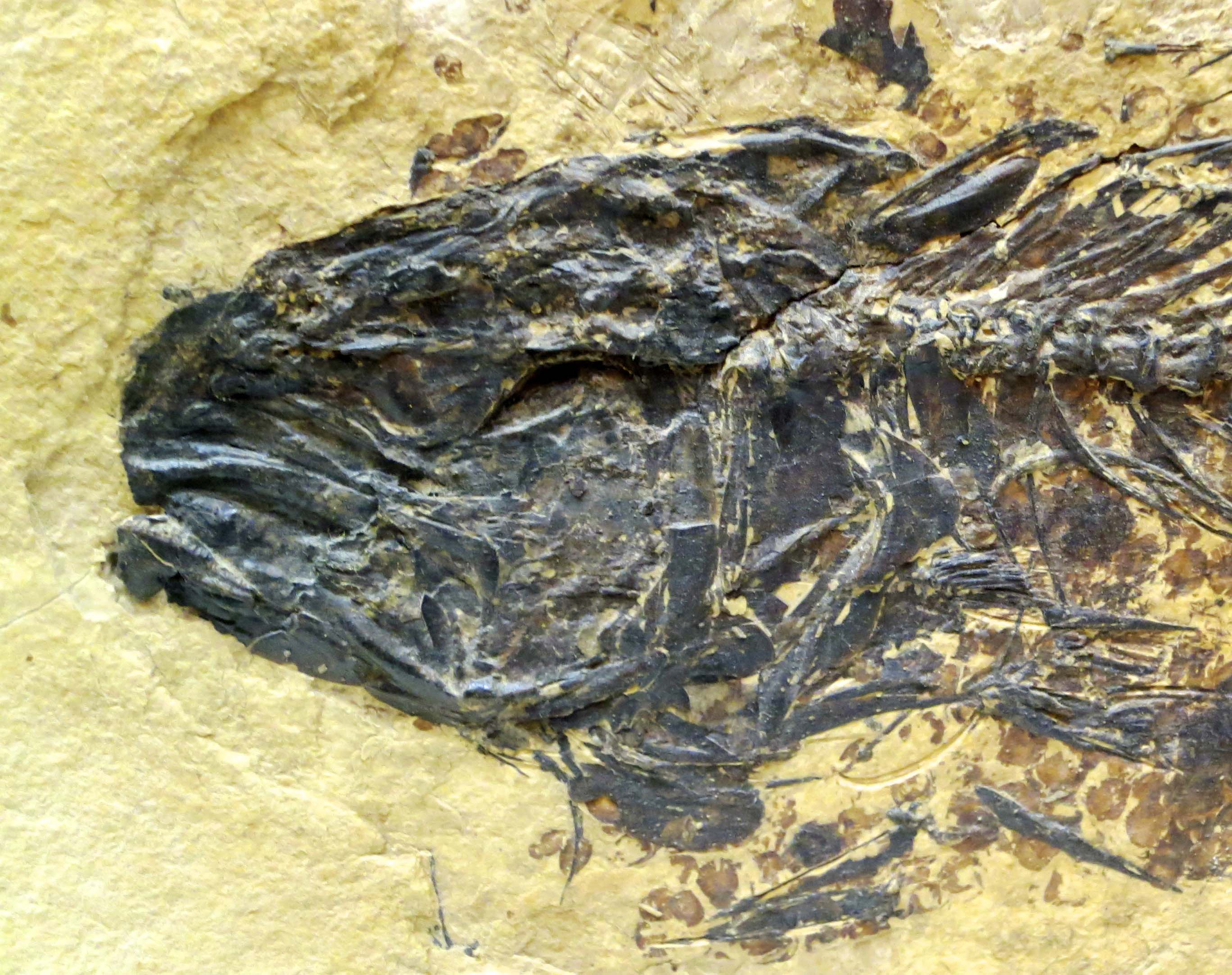 Fossil fish at the Crater Rock Museum in Central Point, Oregon. Photo by Curtis Mekemson.