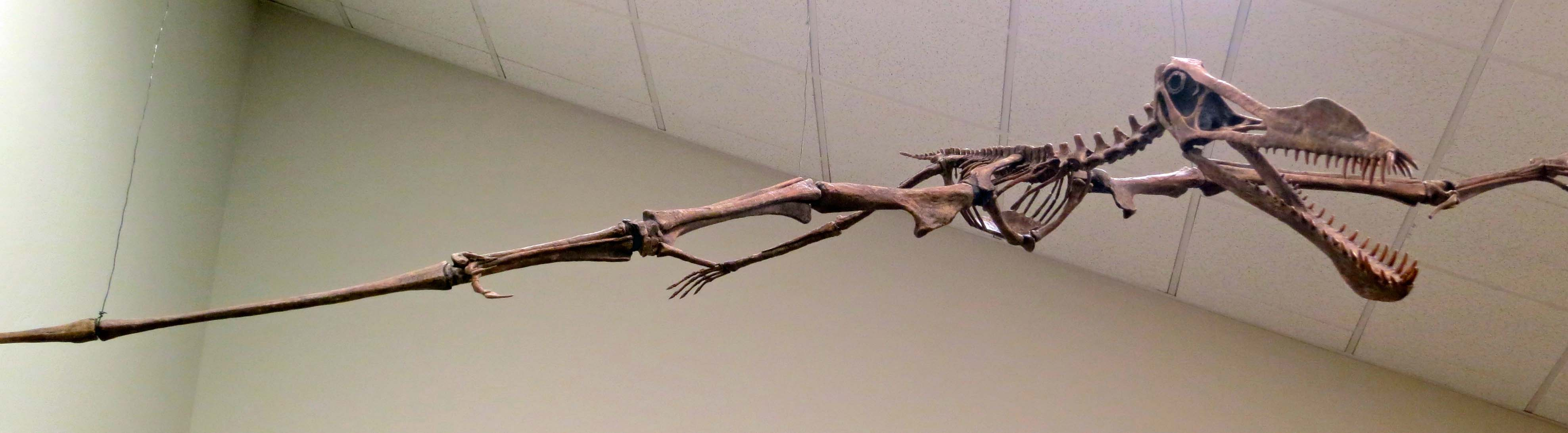 Pterry, a 60 million year old plus, pterosaur, swoops down from the ceiling of the Crater Rock Museum.