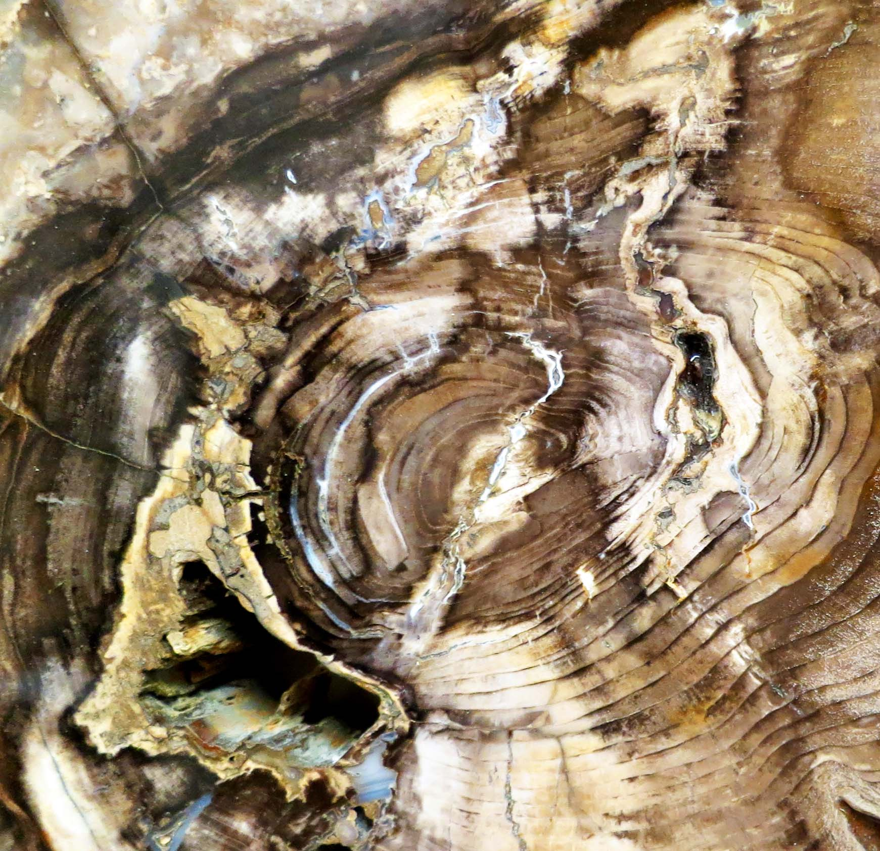 Petrified wood found at the Crater Rock Museum in Central Point, Oregon. Photo by Curtis Mekemson.