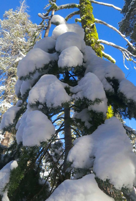 Photo of fresh snow on fir tree by Curtis Mekemson.